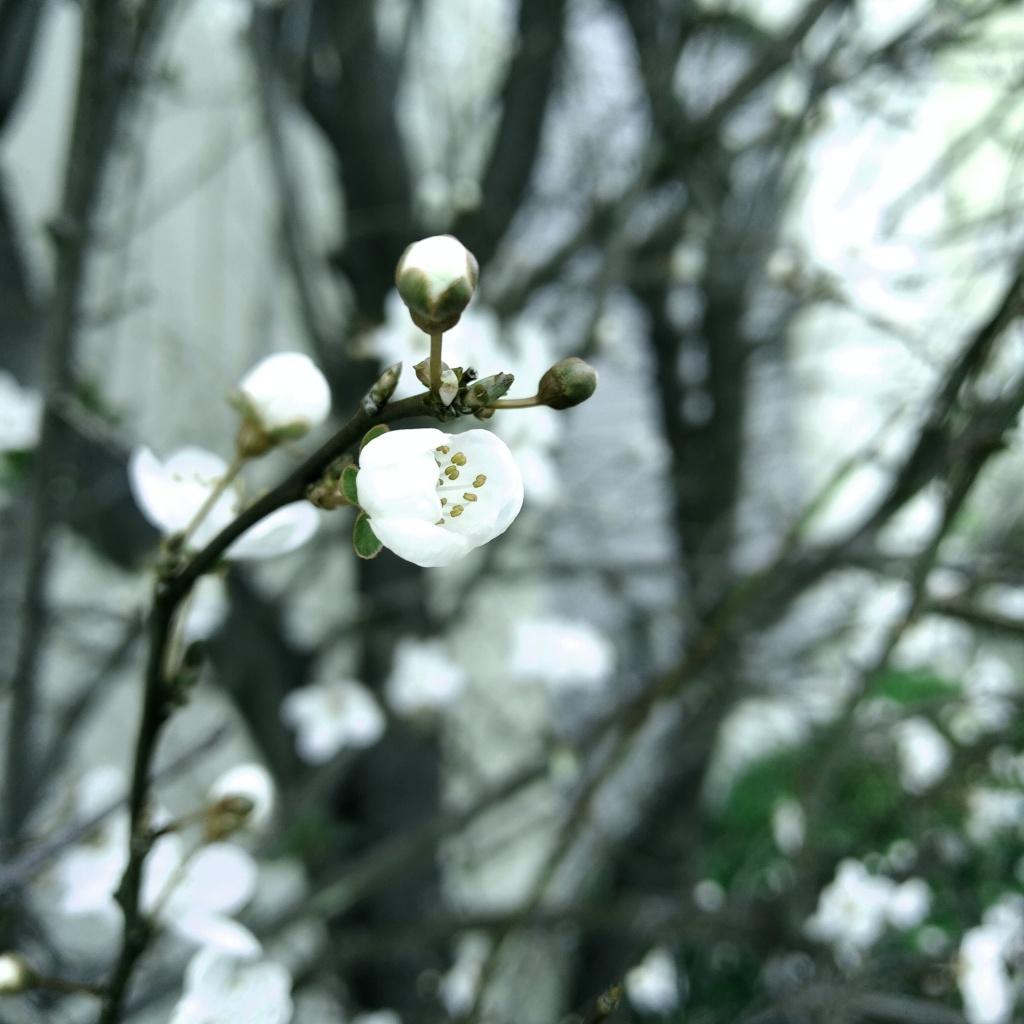 Photo d'un Prunus (cerisier) dans ses toutes premières fleurs, Marseille.